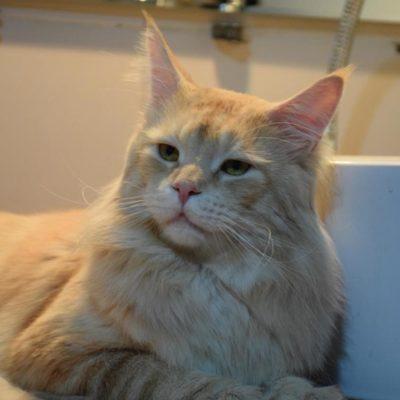 мейн кун кот