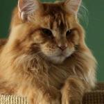 кот мейн кун
